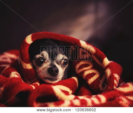 a cute chihuahua in a blanket looking nervous or scared toned with a retro vintage filter instagram app or action effect