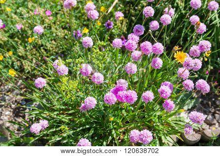 Flowers In Alpine Meadow