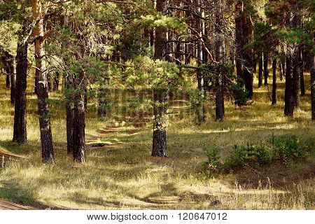Pine Forest In Autumn.