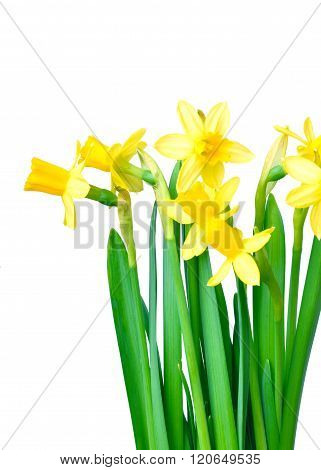Daffodils Isolated On White