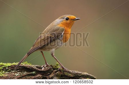 Erithacus Rubecula, European Robin