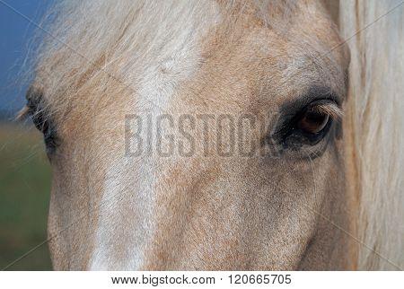 Head of palomino horse