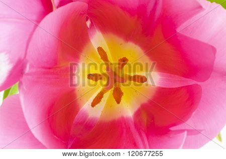 Open Pink Tulip Bud.