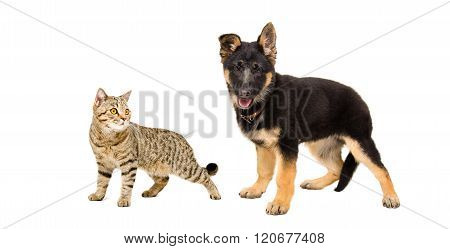 Portrait of a German Shepherd puppy and cat Scottish Straight