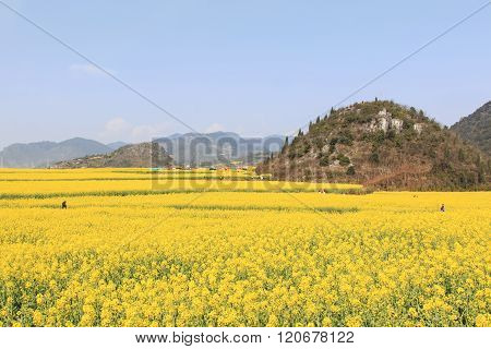 Luoping, China - February 28, 2016: Tourists Walking Among Rapeseed Flowers Fields Of Luoping In Yun