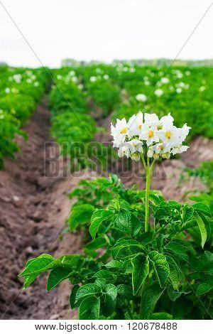 Flowering Potatoes On