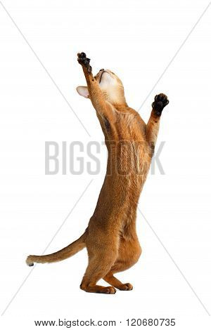 Playful Abyssinian Cat Standing On Rear Legs, Raising Up Paw