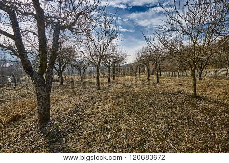 Orchard In The Spring