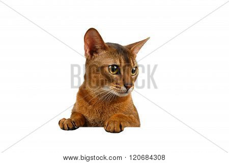 Closeup Abyssinian Cat Front Desk With Paws And Looking Right