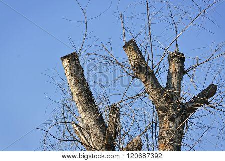 Pruned Tree Trunk