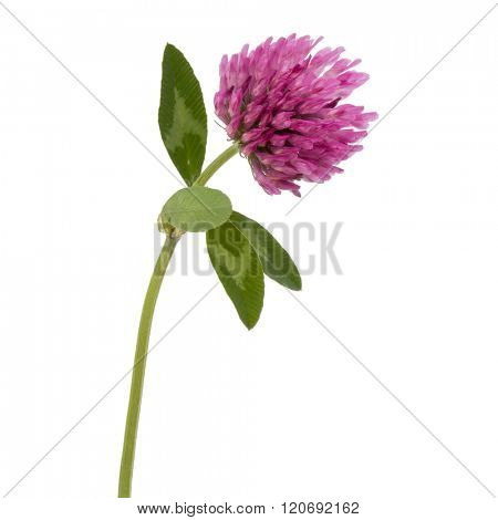 Clover or trefoil flower medicinal herbs isolated on white background cutout