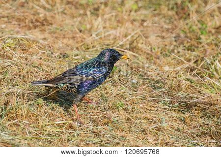European Starling On The Ground