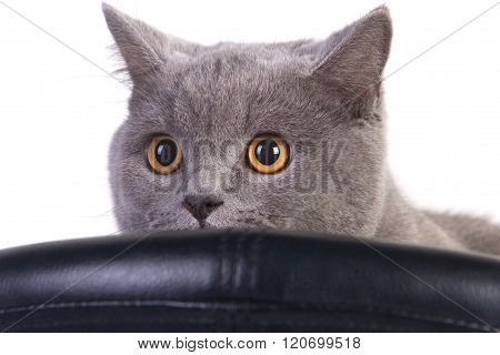 Funny Scottish cat
