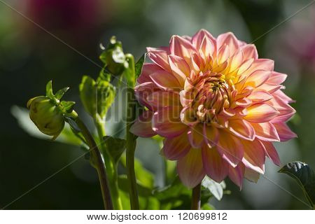 Nationwide Dahlia In Bloom And Buds
