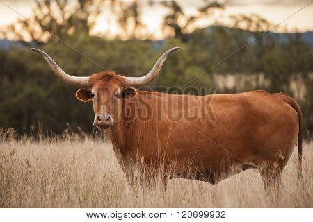 Longhorn Cow in the paddock