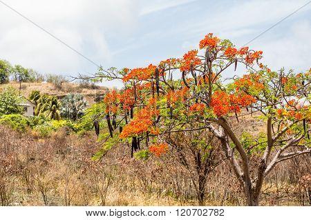 Desert Tree With Orange Flowers