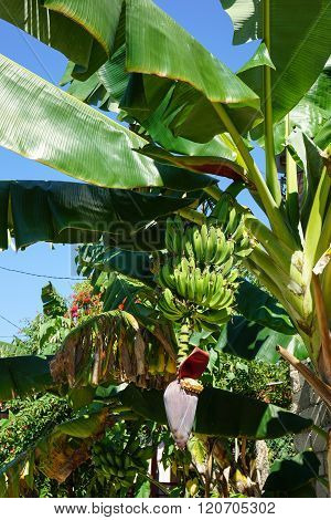 Bananas On Banana Palm Tree