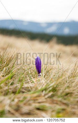 Mountain Wild Flowers Crocus