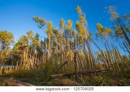 Fallen Trees In Coniferous Forest After Strong Hurricane Wind