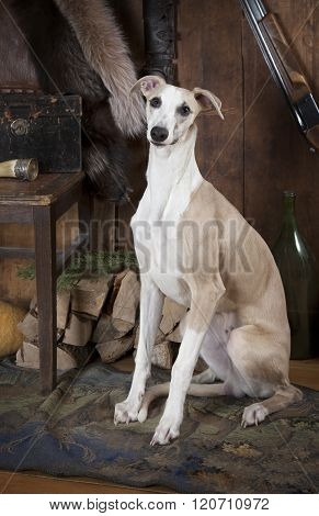 Portrait Of Purebred Whippet Hunting Dog