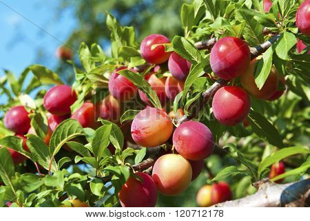 Excellent fruits of plum tree