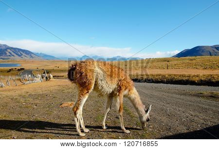 Guanaco at an Estancia