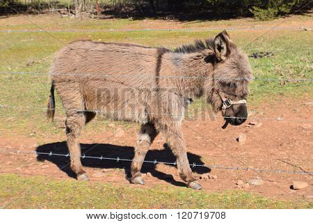 A miniature donkey walking next to a barbed-wire fence