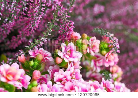Kalanchoe And Heather In Pink