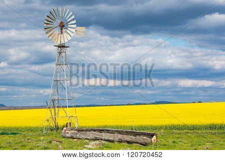 Canola and Windmill