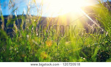 Beautiful nature landscape - Alpine meadow. Grass closeup with sunbeams. Beautiful Nature landscape with sun flare