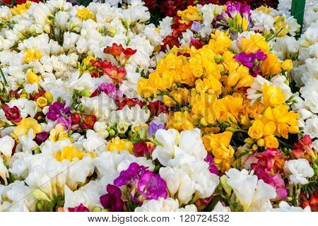 Variety Of Colorful Freesias, Floral Background