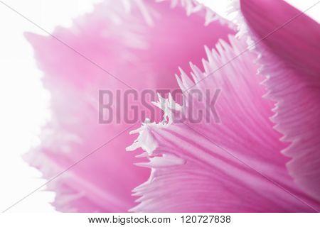 Pink Fringed Tulip On White Background