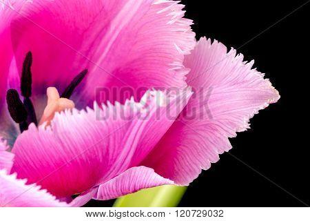 Pink Fringed Tulip On Black Background