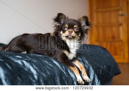 chihuahua dog lying on bed