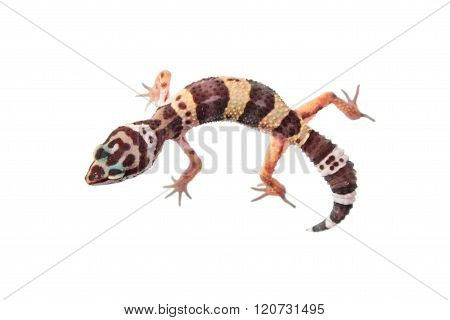 Leopard gecko (Eublepharis macularius) isolated on white