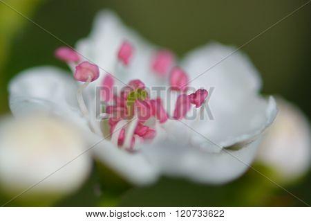 Midland hawthorn (Crataegus laevigata)