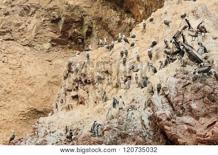 South America, Peru, Wildlife On Islas Ballestas