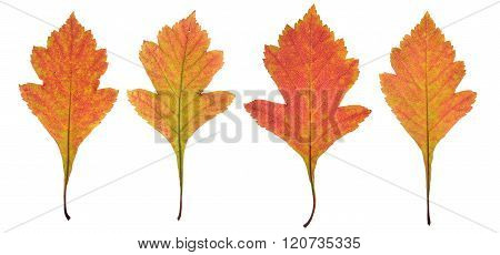 Red autumn leaves of hawthorn isolated on white background