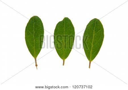 Leaf Of Lingonberry Isolated On White