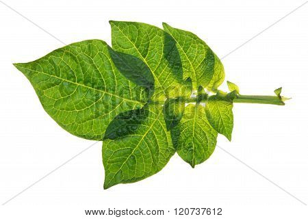 Potato leaf isolated on white