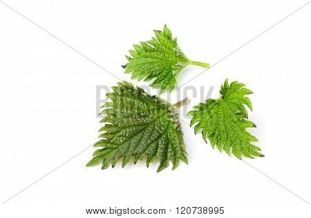 Isolated Nettle Leaves Closeup.