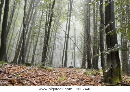 Misty Forest Floor