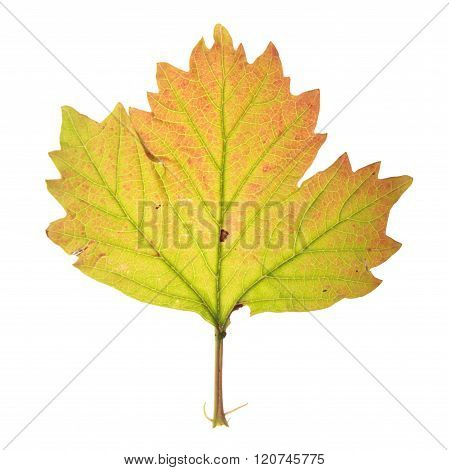 Autumn leaf of guelder rose isolated on white