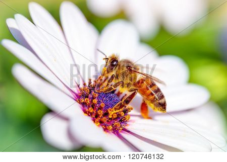 Macro photo of beautiful bee sitting on white gentle daisy, little honeybee collects pollen from flowers, awakening of nature from winter