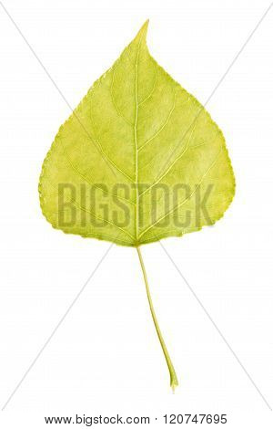 Leaf of black poplar isolated on white