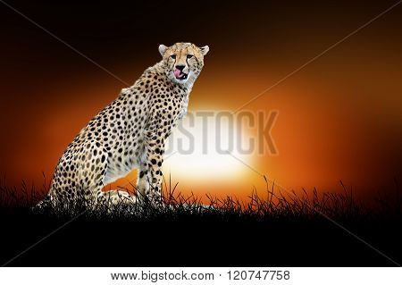 Cheetah On The Background Of Sunset