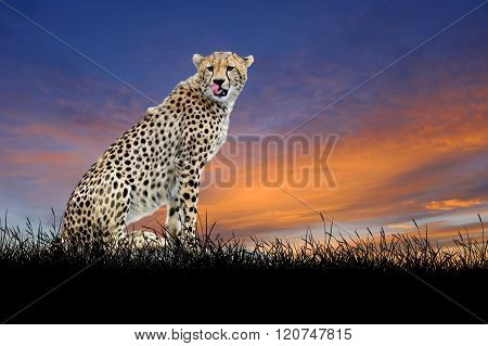 Cheetah On The Background Of Sunset Sky