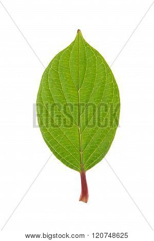 Green leaf of Roughleaf Dogwood isolated on white