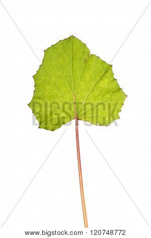 Leaf of Coltsfoot isolated on white