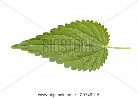 Leaf of Stinging nettle isolated on white